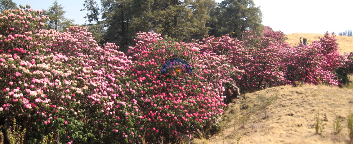 Magical Land with the Rhododendron Forest