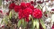 Rhododendron (National Flower of Nepal)