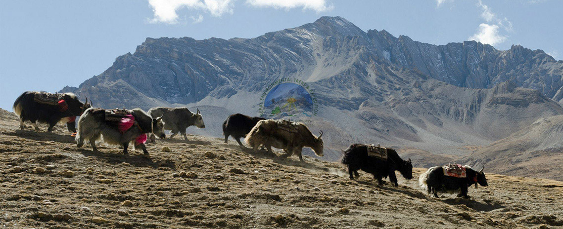 Yak herd in Dolpo region